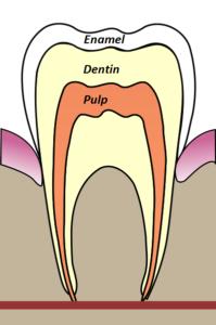 tooth anatomy2